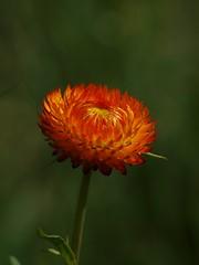 Elégance dans la durée **--* --° (Titole) Tags: orange green shallowdof everlastingflower immortelle challengeyouwinner favescontestwinner friendlychallenges thechallengefactory titole nicolefaton