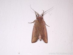 Moth 18 (Dis da fi we) Tags: moth puntagorda toledo belize lepidoptera insect nightflying hickateebelize hickateepuntagorda jungle rainforest forest wildlife culture cottages hickatee