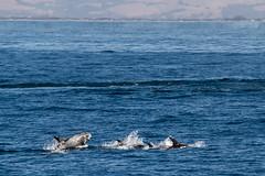 _MG_8787 (orca_bc) Tags: wild monterey dolphin wildlife montereybay dolphins whalewatching californiacoast marinelife mosslanding rissosdolphin rissosdolphins marinewildlife grampusgriseus islandpackers wildlifetour blueoceanwhalewatching