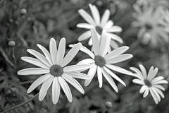 Wildflowers (Flimin) Tags: flowers blackandwhite nature canon bush focus urbannature wildflowers 650d 18135mm eos650d thechallengefactory storybookwinner pregamewinner rebelt4i 18135mmstm