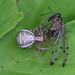 Common scorpionfly as prey of a ground crab spider