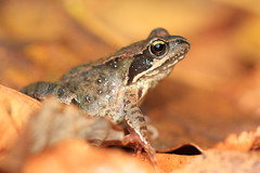 Frog (Robert de Greef) Tags: autumn plants robert nature animals de mushrooms herfst natuur frog dieren kikker paddenstoelen greef
