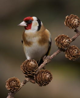 Goldfinch looking for seed