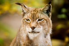 (Nax-7D) Tags: lynx