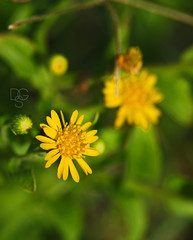 Daisies in the Dunes (DGS Photography) Tags: flower yellow composite florida blossom dune bloom destin wildflower miramarbeach felizquintaflores happyfifthflower