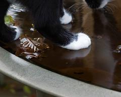 Dizzzy (hehaden) Tags: autumn blackandwhite water glass cat garden table leaf kitty tuxedo shorthaired