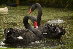Black swans .... (Jan Gee) Tags: black nature natuur swans geffen zwarte effe schwarze zwanen noar 2013 schwanen mygearandme mygearandmepremium