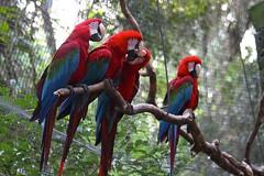 Red-and-green Macaws (marcwiz2012) Tags: brazil bird southamerica zoo wildlife macaw iguazu iguacu iguassu birdpark fozdoiguacu parquedasaves