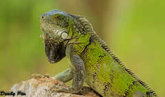 My focus on reptiles in Curacao Dutch Antilles (Dunby PICS) Tags: santa hot beach netherlands dutch golf photo flickr pic resort lizard barbara iguana curacao plantation porta caribbean curaao reptiles antilles nieuwpoort blancu specanimal vision:plant=0783 visio