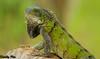 Iguana - Curacao Dutch Antilles (Dunby PICS) Tags: santa beach netherlands dutch golf photo pic resort lizard barbara iguana curacao plantation porta caribbean curaçao reptiles antilles nieuwpoort blancu specanimal