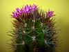 Neoporteria wagenknechtii (nolehace) Tags: sanfrancisco cactus flower fall succulent bloom 1013 wagenknechtii neoporteria nolehace fz35