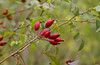 Autumn Colors (Efkan Sinan) Tags: autumn fall nature rosacanina sonbahar güz kuşburnu