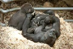 2013-11-28-11h04m57.272P2291 (A.J. Haverkamp) Tags: zoo twins gorilla arnhem thenetherlands burgerszoo dierentuin westernlowlandgorilla westelijkelaaglandgorilla canonef70200mmf28lisusmlens httpwwwburgerszoonl ngayla dob09051993 pobarnhemthenetherlands nwashi dob25082009 nkato nhasa dob13062013