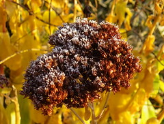 Hier matin ... (anne arnould) Tags: autumn brown france flower nature leaves yellow garden countryside leaf frost crystal country freeze sedum