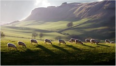 Grazing Sunshine in the Sidlaw hills (colour version) (eric robb niven) Tags: landscape cycling scotland sheep dundee hills pentaxkx sidlaw ericrobbniven
