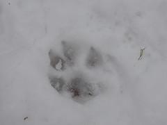 Impronta di lupo nella neve