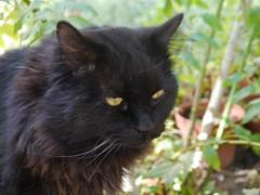 Pensive (Mink) Tags: black male cat garden persian franz kuwait kuwaiti zade marzouq