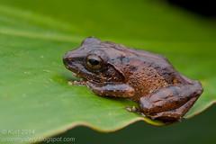 Philautus larutensis IMG_4912 copy (Kurt (OrionHerpAdventure.com)) Tags: philautuslarutensis frog frogs amphibian amphibia herp herps herpetology rhacophoridae rhacophorid petersbushfrog philautuspetersi