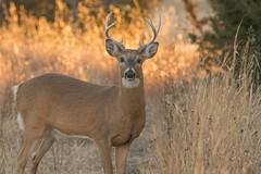 Mr. Whitetail Shows Up (NaturalLight) Tags: deer kansas buck wichita whitetail chisholmcreekpark