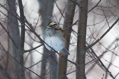 White-throated Sparrow (Scott Alan McClurg) Tags: life winter wild snow cold tree bird forest critter wildlife neighborhood perch songbird