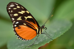 Heliconius hecale (Rene Mensen) Tags: macro butterfly insect golden wings nikon view tiger micro emmen dierentuin ventral vlindertuin longwing heliconius hecale d5100