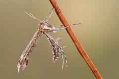 Oxyptilus (johnhallmen) Tags: macro insect naturallight lepidoptera canonmpe65 canon5dmkii zerenestacker
