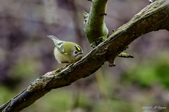Goldcrest (markvc2) Tags: bird nature wildlife sony sigma regulus lumley warbler goldcrest a77