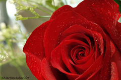 Week 7/52- Love (martinaschneider) Tags: flower rose redrose waterdroplets valentinesday 52weeksthe2014edition week72014 weekstartingwednesdayfebruary122014