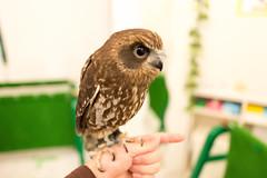 (GenJapan1986) Tags: 2014        bird osaka japan nikond600 zf2 owl animal distagont225  carlzeiss