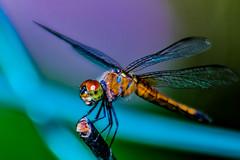 Pantala flavescens (Wandering Glider) (BD@Mona) Tags: photographyforrecreationeliteclub infinitexposure