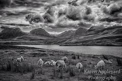 Coigach Sheep (Karen Appleyard Photography) Tags: blackandwhite bw mountains landscape mono scotland nikon sheep scottish highland d800 coigach uploaded:by=flickrmobile flickriosapp:filter=nofilter