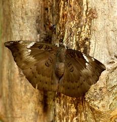 Euthalia aconthea meridionalis - Southern Baron (mnrajwb (Mohan Nagarajan)) Tags: uli wonderfulphotos thanksforsharing dakhanbaron euthaliaacontheameridionalis southernbaron
