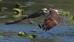 Countdown to Osprey (ken.helal) Tags: osprey