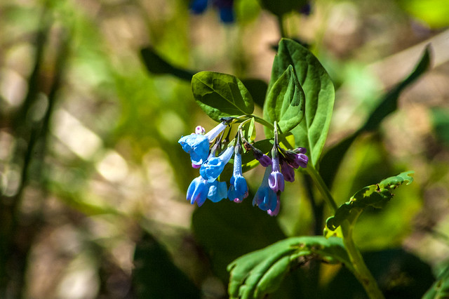 Cedar Bluffs Nature Preserve - Virginia bluebells - April 19, 2014