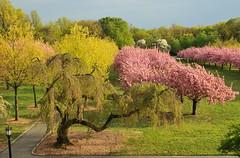 Perfection on the Cherry Esplanade (HorsePunchKid) Tags: gothamist brooklynbotanicgarden cherryesplanade bbgcalmay bbgcalcherries bbgcalspring goldiebucholzcherry bbg2015april gbcseries