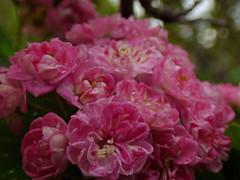 Crataegus laevigata 'Paul's Scarlet' (bego vega) Tags: flower tree scarlet garden flor pauls rbol ornamental grafted jardn espino albar rosaceae crataegus majuelo laevigata injerto roscea