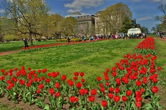 red tulips in Washington, dc (norlandcruz74) Tags: flowers red usa composition america point us dc washington spring flora nikon view angle tulips pov district capital columbia cruz april framing dslr 2014 norland d5000