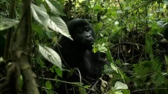 Video: Male Mountain Gorilla (5 y.o.) - Bwindi Impenatrable Forest, Uganda