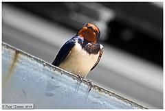 House Martin Who you looking at!! (dark-dawud) Tags: bird nature scotland angus wildlife housemartin horniehaugh