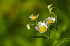 Fleabane (Sun Dogs & Daylilies) Tags: fleabane happyflowers littledaisies colormyworlddaily cmwd cmwdgreen goodforthepollinators weneedthepollinators