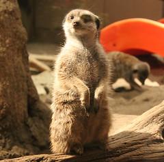Standing Watch (blazer8696) Tags: usa aquarium meerkat unitedstates norwalk connecticut ct maritime 2014 ecw southnorwalk img4551 furandfeathers t2014
