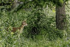 Camouflaged? (Wes Iversen) Tags: animals illinois thegrove wildlife deer fawns whitetaileddeer glenview nikkor18300mm