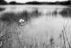 Wetland -- (leicaflex sl) (PositiveAboutNegatives) Tags: leica blackandwhite bw flower slr film analog vintage 50mm sl summicron coolscan leicaflex foma fomapan100 aristaedu leitz 50mmsummicron leicar leicaflexsl nikon9000scanner blackandwhitefilmphotography leicafilmphotography freefilmimages freefilmpictures