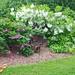 Fringe Tree (Chionanthus virginicus) and Dart's Dash Rose