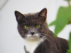 Maybe the cat liked my white mustache. (kennethkonica) Tags: canonpowershot summer july global random hoosiers marioncounty midwest america usa indiana indianapolis indy colors animaleyes animal outdoor c animalplanet stare whiskers november gray bestshotoftheday ears