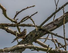 9Q6A7144 (2) (Alinbidford) Tags: alinbidford alancurtis brandonmarsh kingfisher greyheron heron kestrel
