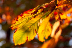 Miss Fall. Welcome season of festivity! (Paulina_77) Tags: bokeh dof horse chestnut yellow green orange nikond90 nikon d90 nikkor50mm18 nikkor 50mm18 50mm18g 50mm prime lens depthoffield closeup details detail shallow depth blur blurred autumn fall leaves colors fallingleaves trees season park scene colourful colour colorful color leaf foliage autumnal gold golden red crimson scarlet nature scenery backlighting backlit backlight sunlight sunlit sun sunny daylight light shadow bright vivid vibrant colored intense glowing glaring shining shine glare glow bokehlicious pola77