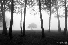 BNW Example (MarcoSaucy55) Tags: tree trees trunk forest fog silhouette branch foggy haze hazy landscape leaf light mist misty mysterious mystery morning blackandwhite black white monochrome moody