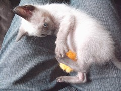 Emma at 2 months (fossfor) Tags: kittens babycat cats siamesecat pets animals meezers siamesepets