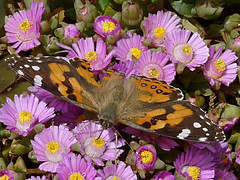 Painted Lady (Boobook48) Tags: geelong garden geelongbotanicgarden victoria gbg paintedlady butterfly flower flora pink